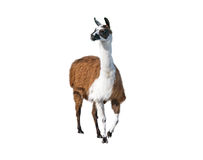 Beautiful lama portrait Stock Image