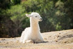 Beautiful lama sitting on the ground. Outdoor Royalty Free Stock Photo