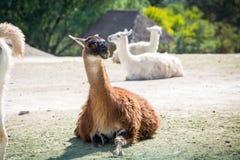 Beautiful lama sitting on the ground. Outdoor Stock Photos