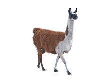 The Beautiful lama Royalty Free Stock Images