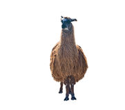 The Beautiful lama Royalty Free Stock Photo