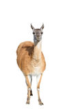 The Beautiful lama Royalty Free Stock Photos