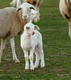 Beautiful lamb next to its mothe Royalty Free Stock Image