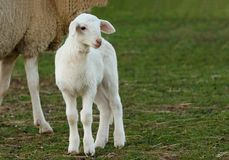 Beautiful lamb next to its mothe Royalty Free Stock Images
