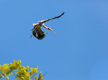 The beautiful landing position in the air of Painted Stork Stock Photos