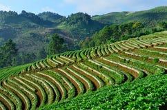 Free Beautiful Landscape And Fresh Strawberries Farm At Chiangmai ,Thailand Stock Photos - 47354543