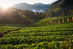 Free Beautiful Landscape And Fresh Strawberries Farm In Winter At Chiangmai Royalty Free Stock Photography - 28585887