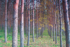 In autumn forest with pines Stock Photography