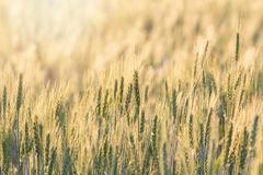 Beautiful landscape of Barley field Royalty Free Stock Photo