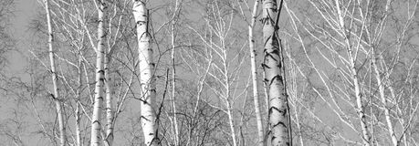 Beautiful landscape with birches Stock Photography
