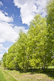 Beautiful landscape with birches and white clouds on blue sky. Stock Images
