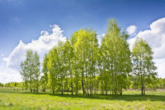 Beautiful landscape with birches and white clouds on blue sky. Stock Photo