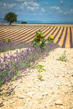 Beautiful landscape of blooming lavender field,lonely tree uphil. L on horizon. Provence, France, Europe Stock Photos