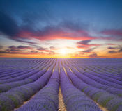 Beautiful landscape of blooming lavender field Royalty Free Stock Images