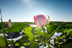 Beautiful landscape of blossoming lotuses. In the afternoon Royalty Free Stock Images