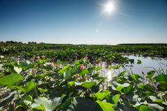 Beautiful landscape of blossoming lotuses. In the afternoon Stock Photo