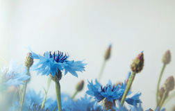 Beautiful landscape with blue cornflower flowers on a white background, summer field. Blossom floral abstract bokeh and Royalty Free Stock Images