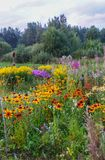 Beautiful landscape with bright blooming summer flowers. Latvia, East Europe. Blooming Sally and Rudbeckia or Black-Eyed Rudbeckia royalty free stock images