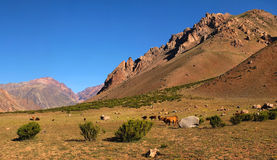Beautiful landscape with cattle in the Andes. Beautiful landscape with cattle at sunset in the Andes, Argentina, South America stock image
