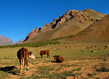 Beautiful landscape with cattle in the Andes. Beautiful landscape with cattle at sunset in the Andes, Argentina, South America royalty free stock photography