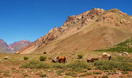 Beautiful landscape with cattle in the Andes. Beautiful natural landscape with cattle at sunset in the Andes, Argentina, South America stock photos