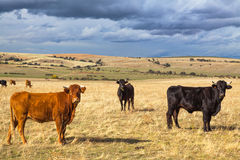 Beautiful landscape with cattle and dark clouds at sunset, Castilla y Leon region, Spain Stock Images