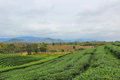 Beautiful landscape of Choui Fong Tea Plantation Stock Photography