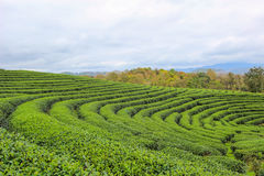 Beautiful landscape of Choui Fong Tea Plantation Stock Photo