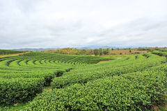 Beautiful landscape of Choui Fong Tea Plantation Royalty Free Stock Photos