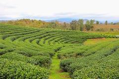 Beautiful landscape of Choui Fong Tea Plantation Stock Image