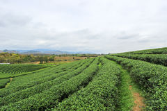 Beautiful landscape of Choui Fong Tea Plantation Stock Photos