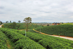 Beautiful landscape of Choui Fong Tea Plantation Stock Photos