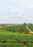 Beautiful landscape of Choui Fong Tea Plantation Royalty Free Stock Photography