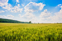 Beautiful landscape with cornfield in Tuscany, Italy Royalty Free Stock Photography