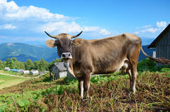 Beautiful landscape with a cow in the mountains in Karpath, Ukra Royalty Free Stock Images