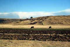 Beautiful landscape with cows and blue sky Royalty Free Stock Photos