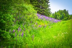 Beautiful Landscape of Daisy and Lupine Wildflowers. Beautiful landscape of daisies and lupine wildflowers in lush green grass and vegetation and blue sky on royalty free stock images