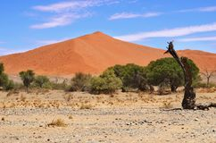 Dune 1. Sossusvlei, Namib Naukluft National Park, Namibia. Beautiful landscape with dune number 1 and green trees at sunrise, Sossusvlei, Namib Naukluft National Stock Image