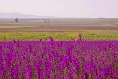 Beautiful landscape, the endless field with purple flowers and green grass, on the background mountains royalty free stock image