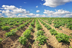 Beautiful landscape with field of potatos and blue sky. Stock Photography