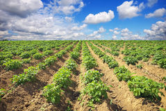 Beautiful landscape with field of potatos and cloudy sky. Royalty Free Stock Image