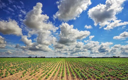 Beautiful landscape with field of potatos and cloudy sky. Royalty Free Stock Photo
