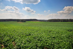 Beautiful landscape with field of potatos and cloudy sky. Stock Photo