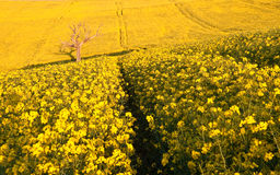 Beautiful landscape field of rapeseed in countr Stock Photos
