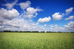 Beautiful landscape with field of rye and blue sky Stock Photos