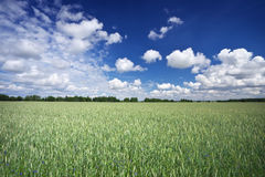 Beautiful landscape with field of rye Royalty Free Stock Photo