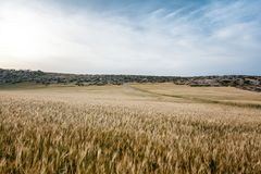 Beautiful landscape, field with spikelets and road Royalty Free Stock Photo
