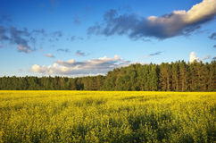Beautiful landscape with field of yellow canola Royalty Free Stock Photos