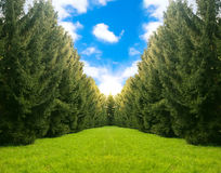 Beautiful landscape with fir trees. Stock Images