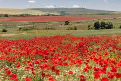 Beautiful landscape, flower field with bright red poppies and white daisy flowers, green grass and trees, on background high hills. Bulgaria royalty free stock photo